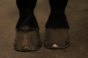 Er der balance og symmetri i din hests hove?