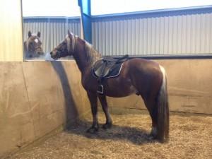 Smuk hest, der beundrer sit eget spejlbillede.