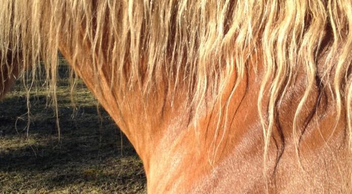 hest, pelsskifte, hestezonen.dk
