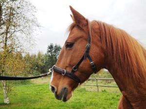 En kapsun muliggør at stille hesten ind i volten. Foto. hestezonen.dk