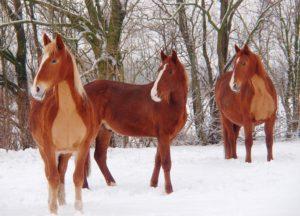 klippede heste i sneen