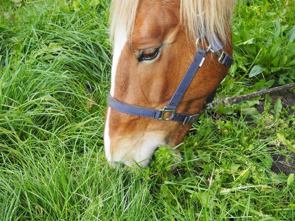 indgræsning hest
