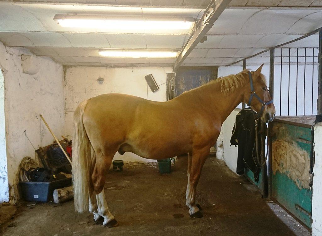 min hest er for tyk